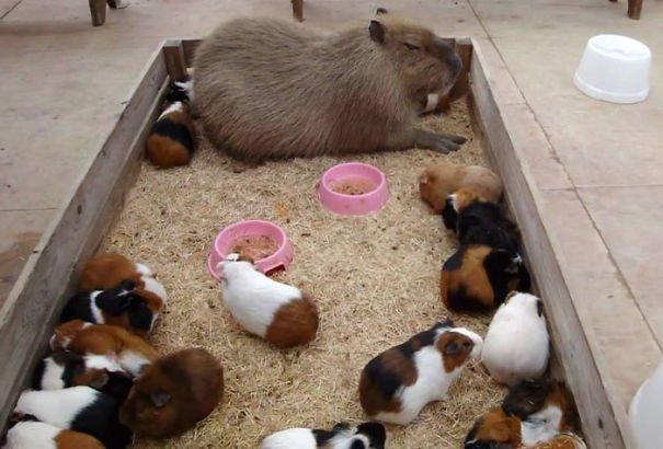 los capibaras son animales extremadamente sociables 11