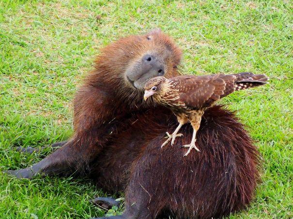 los capibaras son animales extremadamente sociables 12