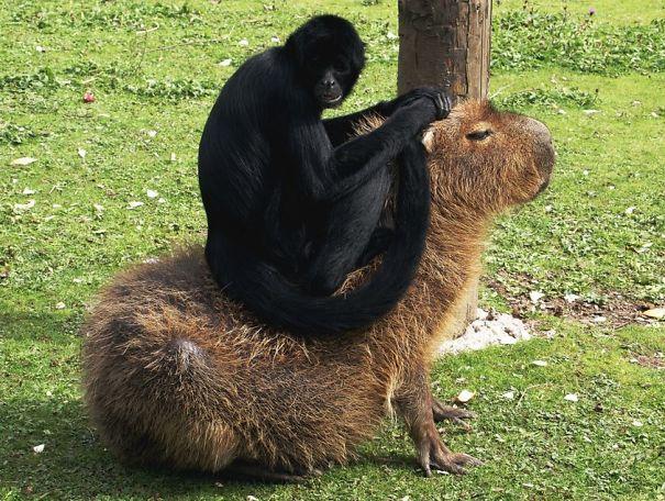 los capibaras son animales extremadamente sociables 15