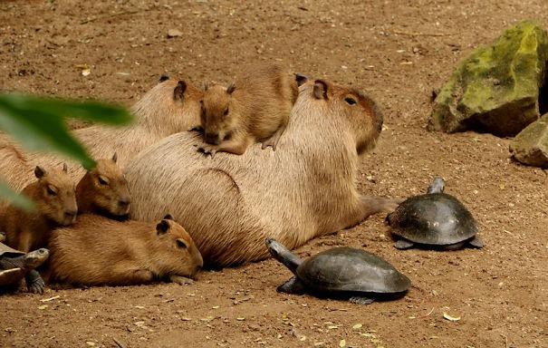 los capibaras son animales extremadamente sociables 16
