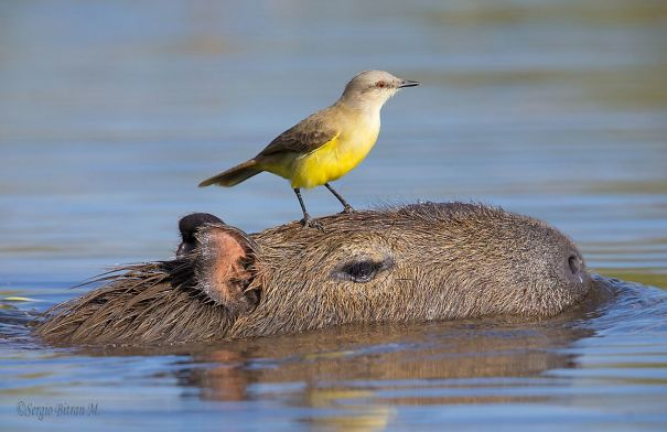 los capibaras son animales extremadamente sociables 17