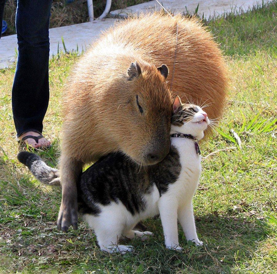 los capibaras son animales extremadamente sociables 2