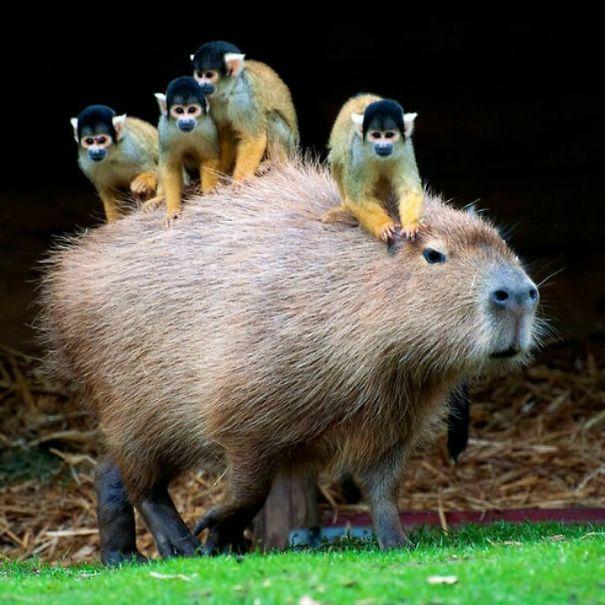 los capibaras son animales extremadamente sociables 20