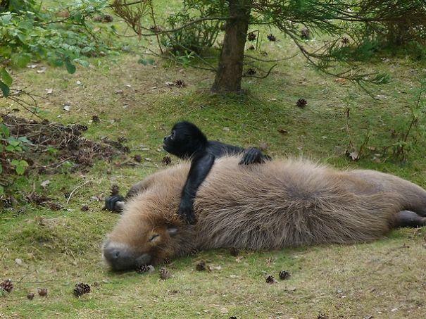los capibaras son animales extremadamente sociables 21