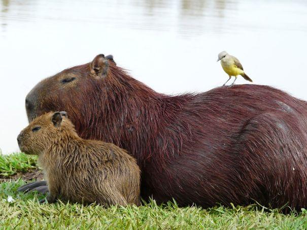 los capibaras son animales extremadamente sociables 22