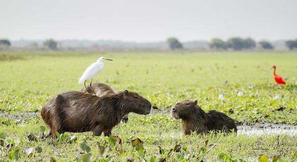 los capibaras son animales extremadamente sociables 25