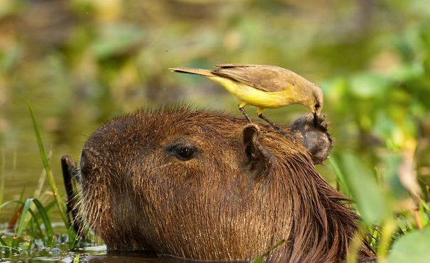 los capibaras son animales extremadamente sociables 26