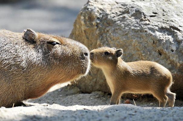 los capibaras son animales extremadamente sociables 29