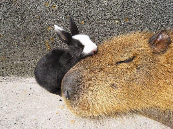 los capibaras son animales extremadamente sociables 3