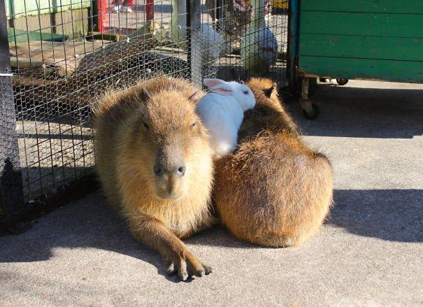 los capibaras son animales extremadamente sociables 30