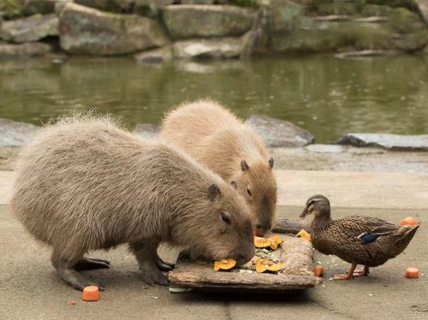 los capibaras son animales extremadamente sociables 31