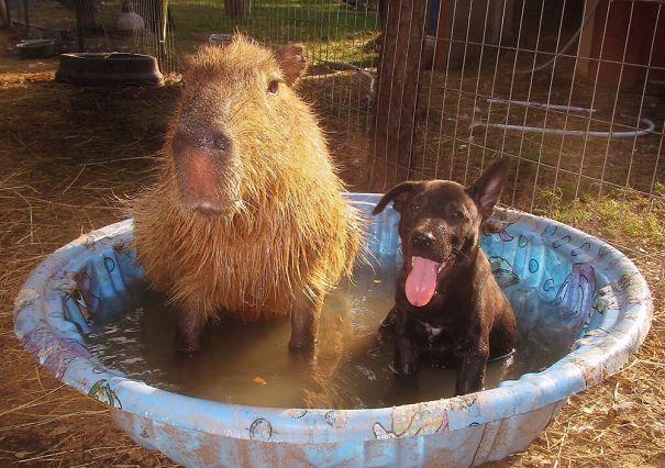los capibaras son animales extremadamente sociables 32