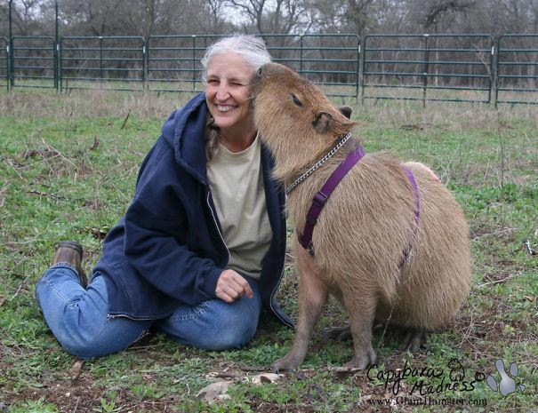 los capibaras son animales extremadamente sociables 33