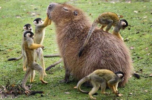 los capibaras son animales extremadamente sociables 4
