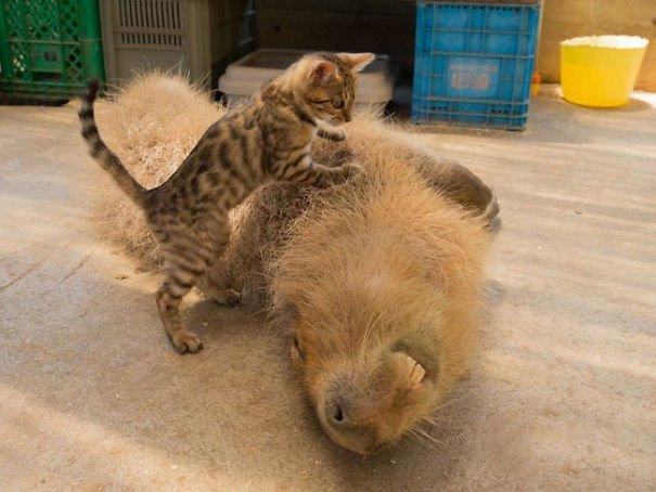 los capibaras son animales extremadamente sociables 5