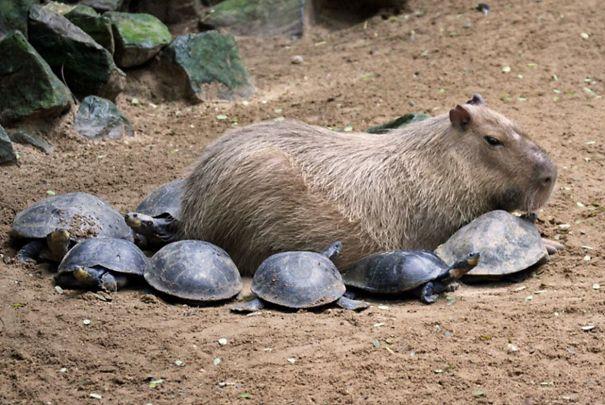 los capibaras son animales extremadamente sociables 6