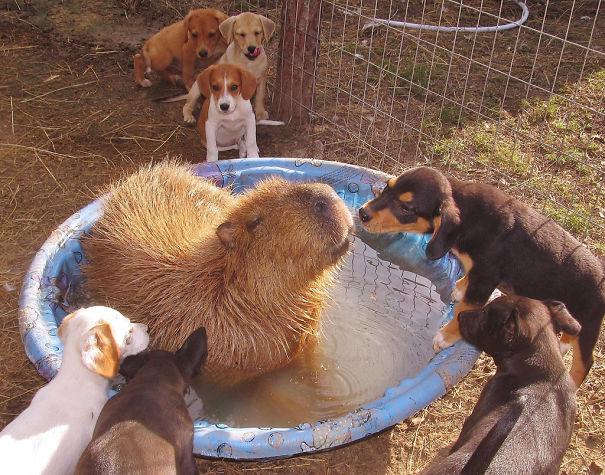 los capibaras son animales extremadamente sociables 7