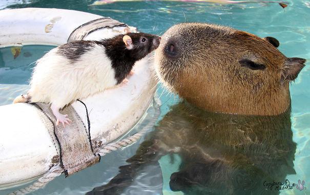 los capibaras son animales extremadamente sociables 8
