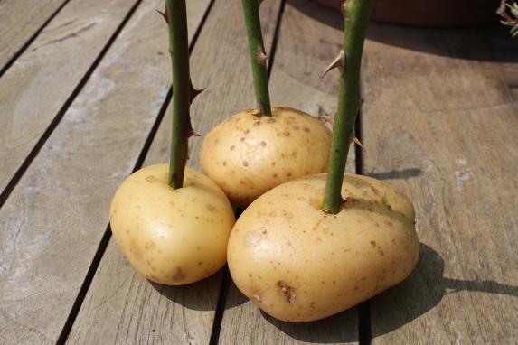 patata rosas 4