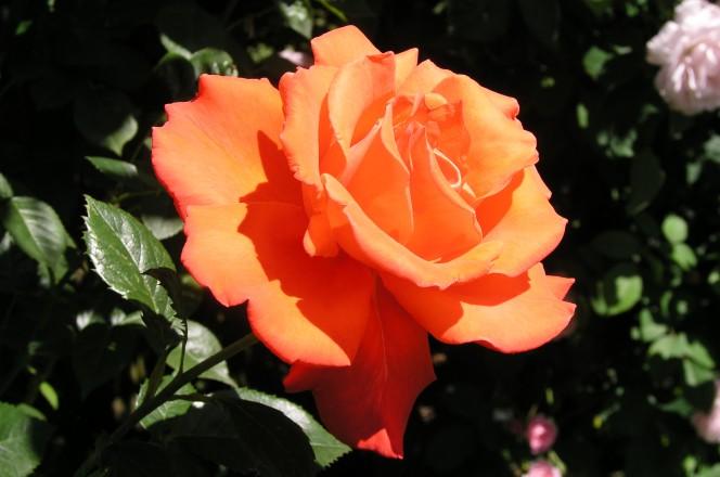 patata rosas 7