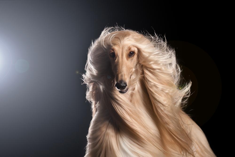Hay perros con pelazo