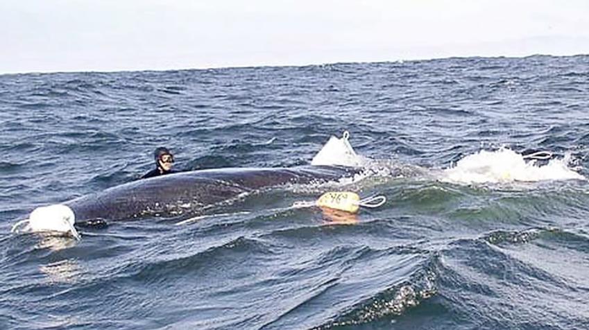 Las redes de arrastre están causando heridas profundas a este cetáceo