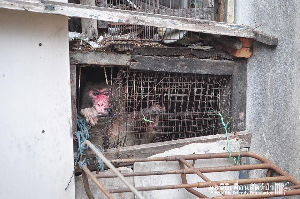 simio rescatado en un agujero de thailandia 1