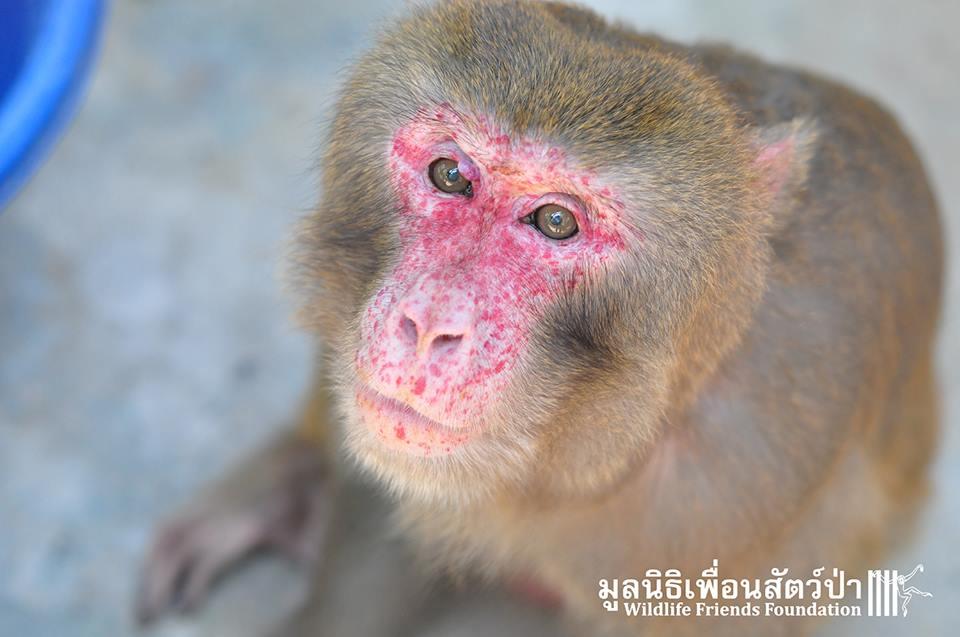simio rescatado en un agujero de thailandia 12