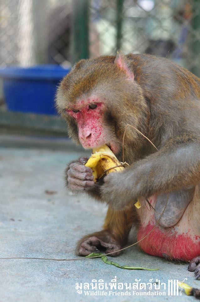 simio rescatado en un agujero de thailandia 13