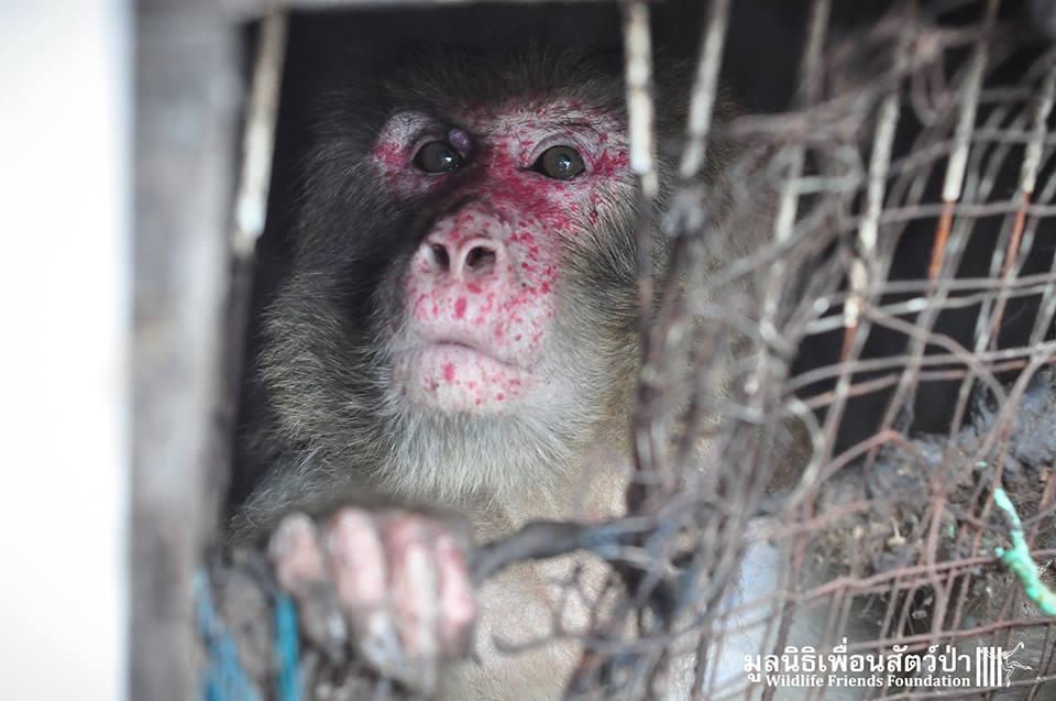 simio rescatado en un agujero de thailandia 2