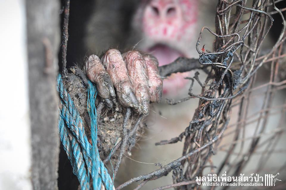 simio rescatado en un agujero de thailandia 4