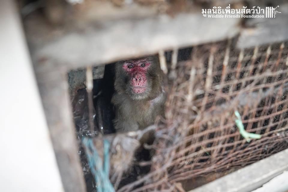 simio rescatado en un agujero de thailandia 6