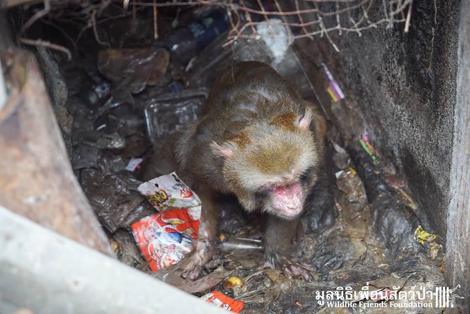 simio rescatado en un agujero de thailandia 8