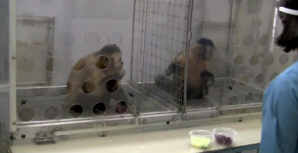2 monos capuchinos reciben un pago distinto por el mismo trabajo y uno de ellos se enfada