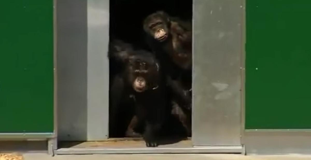 chimpances ven la luz solar por primera vez en 30 años