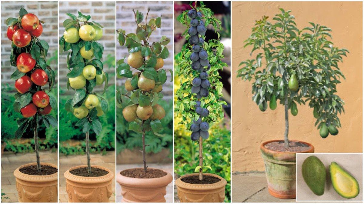 Sab as que puedes cultivar fruta sin tener un jard n for Arboles frutales para jardin