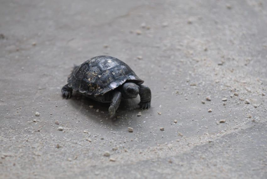 galapago de 80 años tiene una pequeña tortuga 2