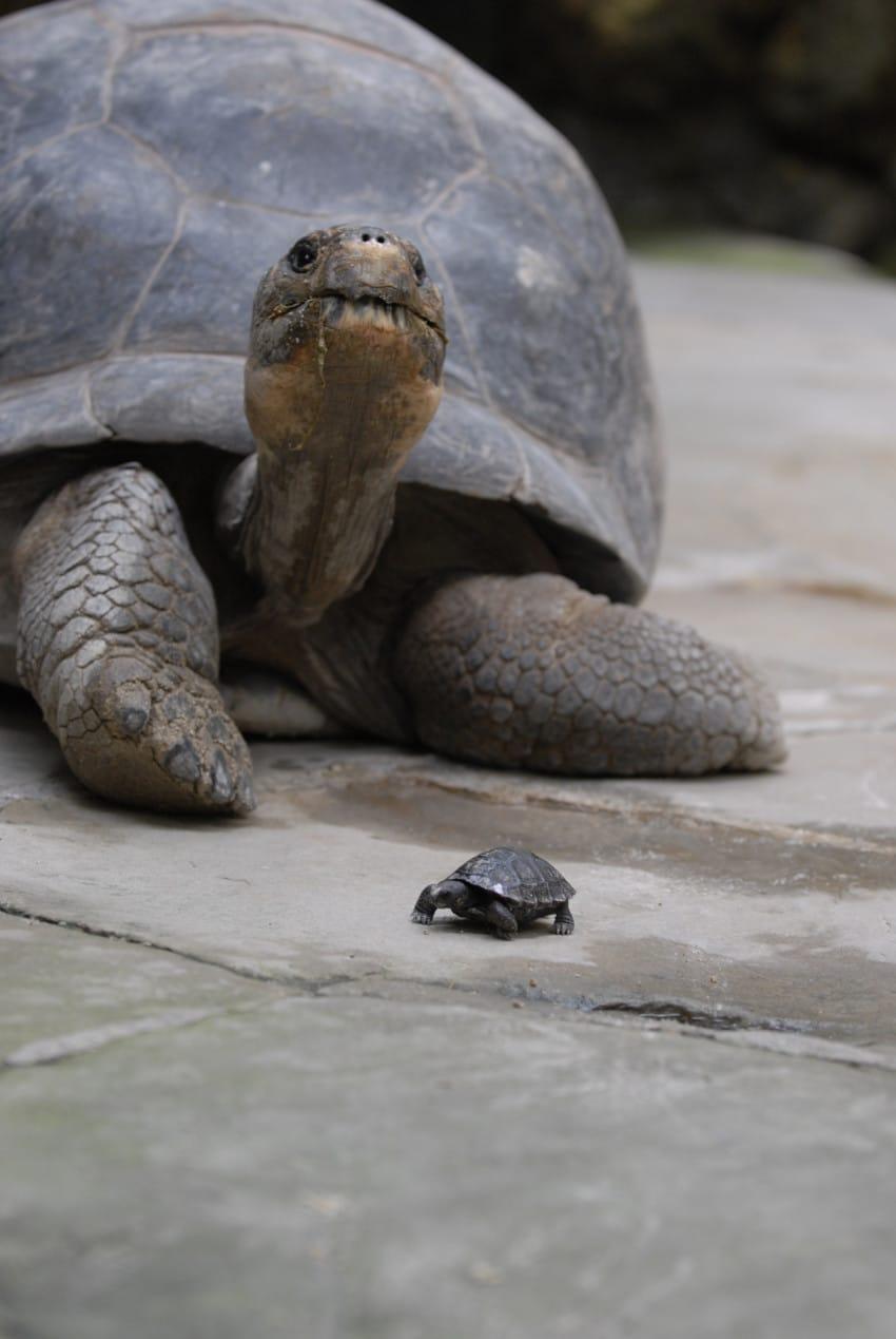 galapago de 80 años tiene una pequeña tortuga 3