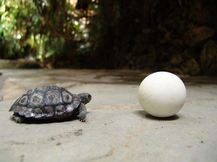 galapago de 80 años tiene una pequeña tortuga 4