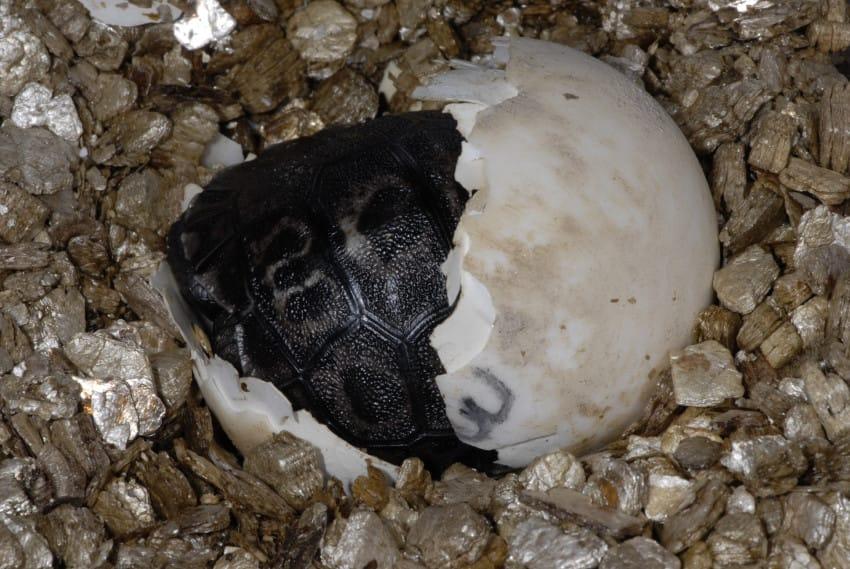 galapago de 80 años tiene una pequeña tortuga 5