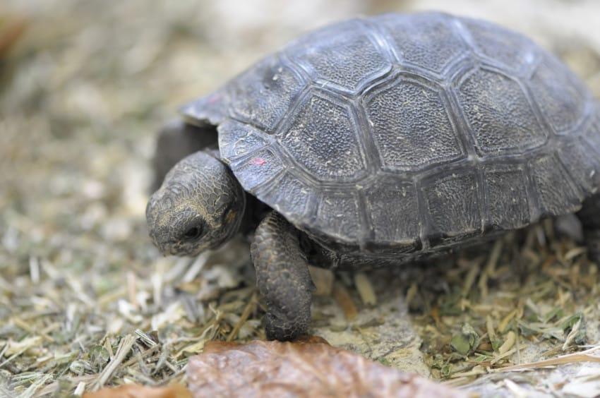 galapago de 80 años tiene una pequeña tortuga 6