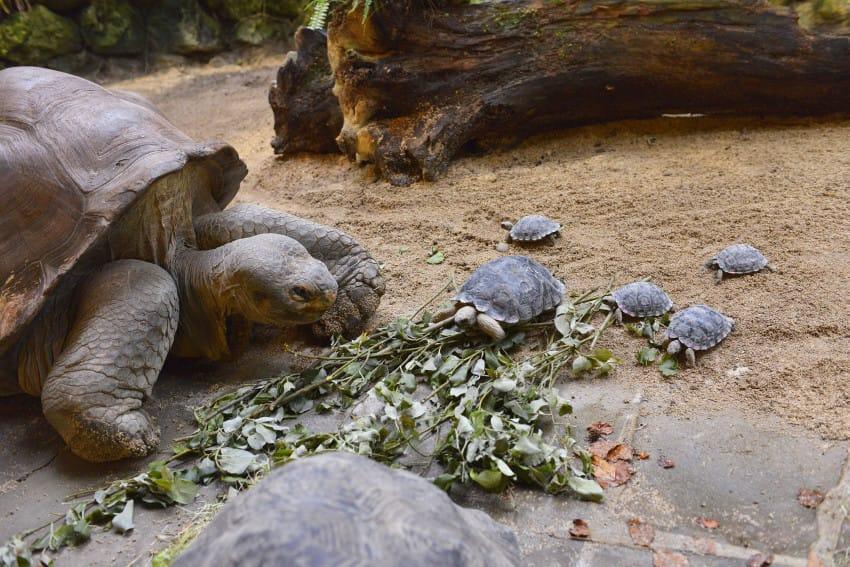 galapago de 80 años tiene una pequeña tortuga 7