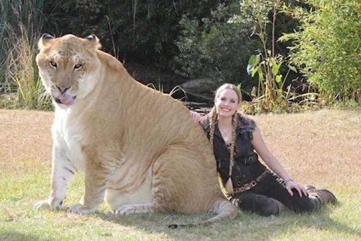 hercules, el felino mas grande del mundo