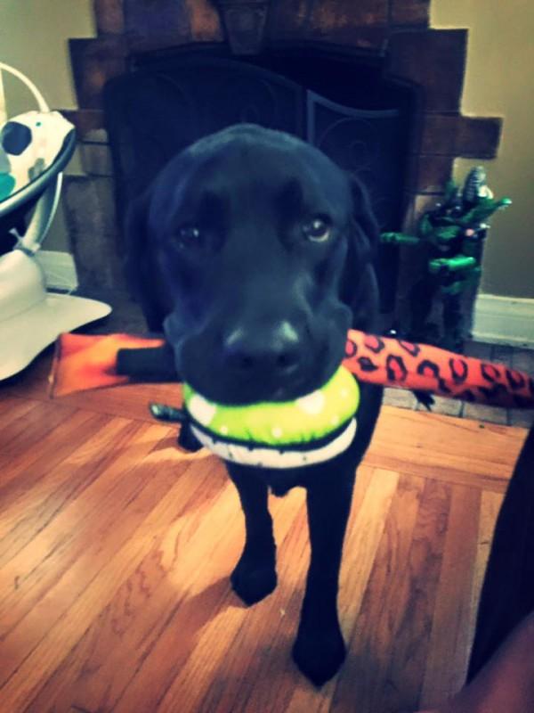 jedi, el perro labrador que cuida de luke el niño con diabetes y le salva la vida 4