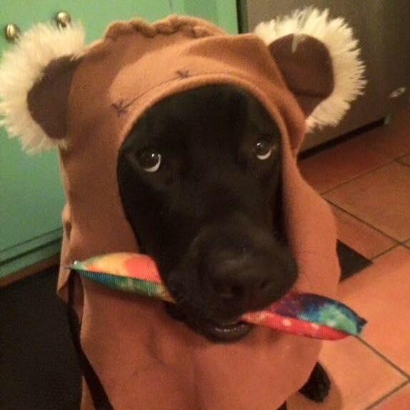 jedi, el perro labrador que cuida de luke el niño con diabetes y le salva la vida 5