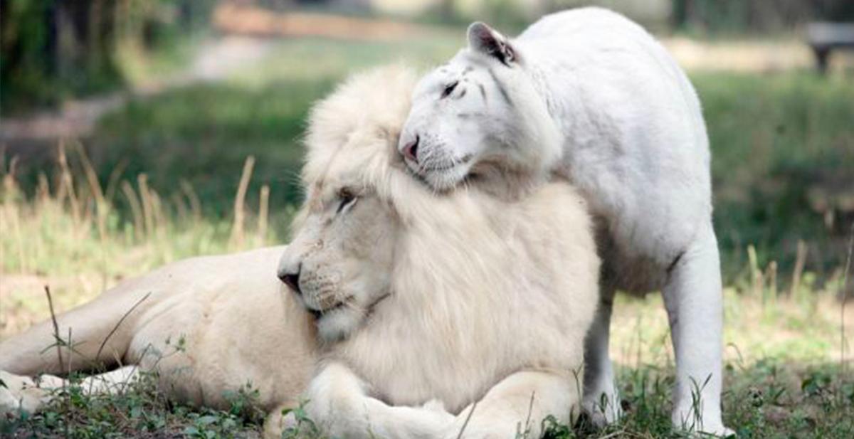 leon y tigre albinos tienen una camada