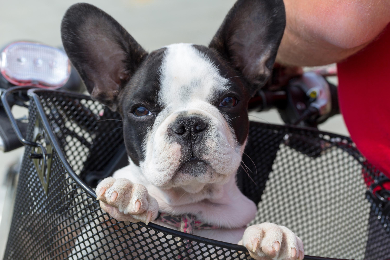 Por Qué No Deberías Adoptar A Un Perro Pequeño La Voz Del Muro