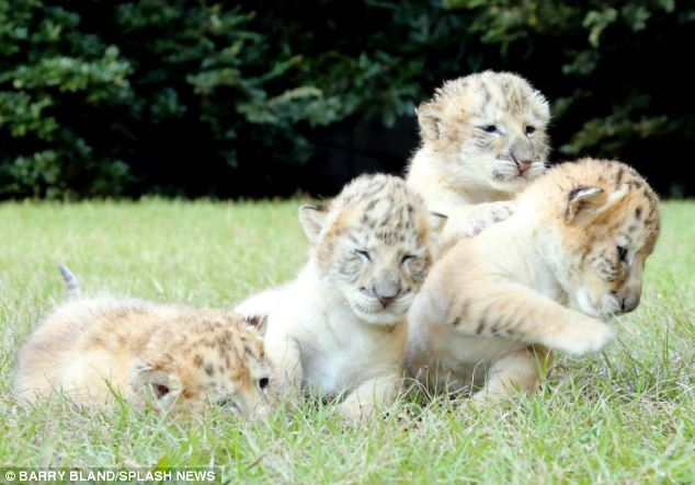 nacen los primeros ligres albinos que se conocen 2