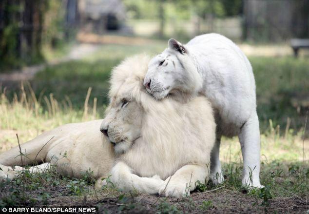 nacen los primeros ligres albinos que se conocen 3