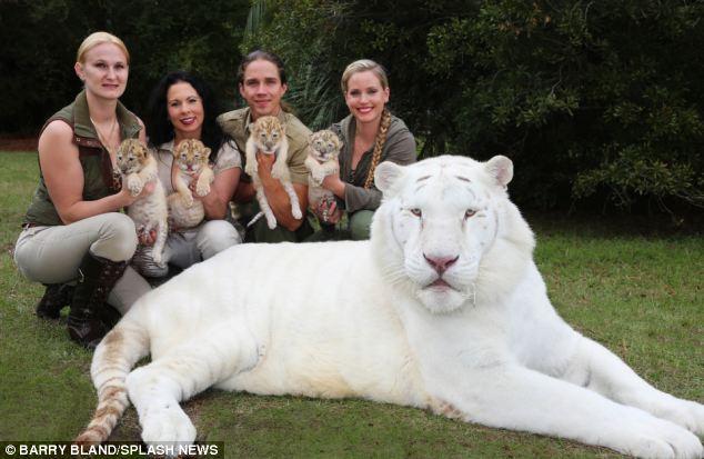 nacen los primeros ligres albinos que se conocen 7